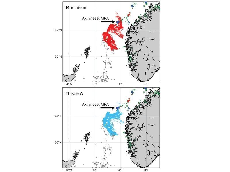 """Simulações executadas pelo projeto INSITE Fase 1 """"ANChor"""" mostram as rotas oceânicas que protegiam os corais de Lophelia pertusa do Thistle A e as plataformas Murchison (agora depreciadas), incluindo algumas das quais acabam se instalando na área de proteção marinha Aktivneset da Noruega. Imagem do projeto ANCH Fase 1 ANChor."""