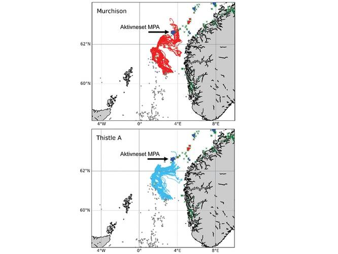 "Simulations run by the INSITE Phase 1 project ""ANChor"" show the oceanic pathways that protected corals of Lophelia pertusa from the Thistle A and the (now derogated) Murchison platforms may follow, including some of which end up settling in Norway's Aktivneset marine protected area. Image from the INSITE Phase 1 ANChor project."